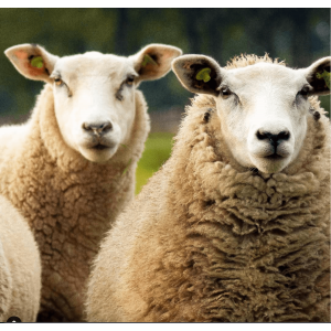 Mouton Mascotte João